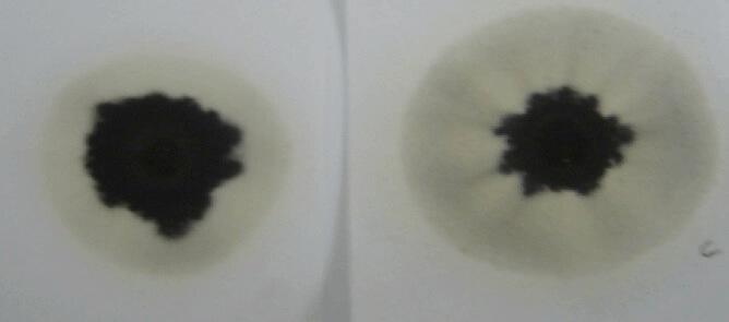 Figura 4. Presencia de glicol en la prueba de la gota de aceite